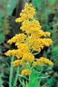 Goldenrod, Wildcrafted/Organic